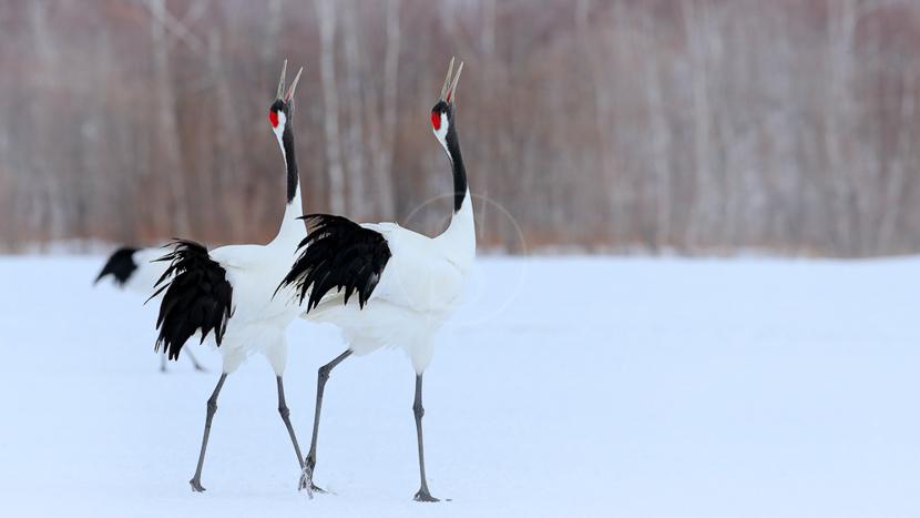 Tsurui Ito Tancho Crane Sanctuary, Grues à Hokkaido, Japon © shutterstock