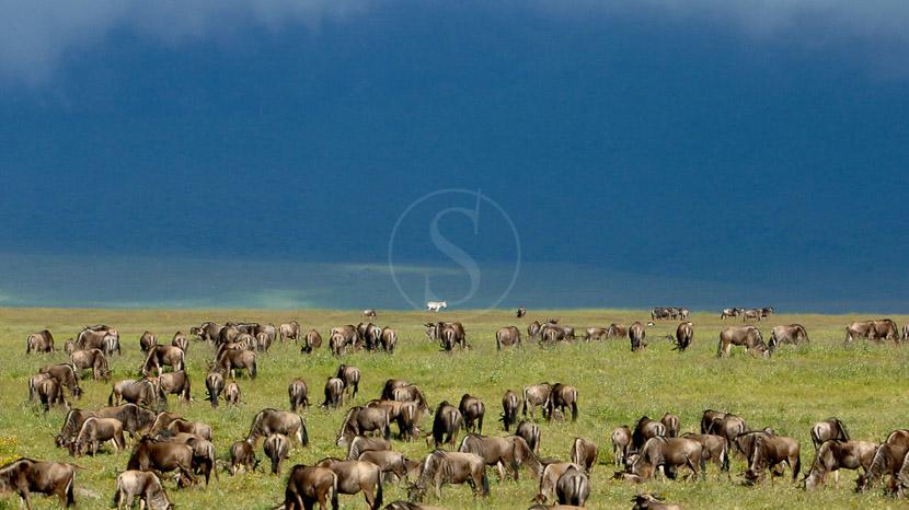 La grande migration dans le Masai Mara, Safari au Masai Mara, Kenya © &Beyond