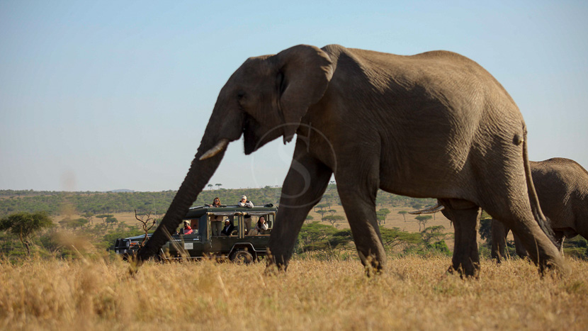 Safari dans le Masai Mara avec Kicheche, Kicheche Bush Camp, Kenya