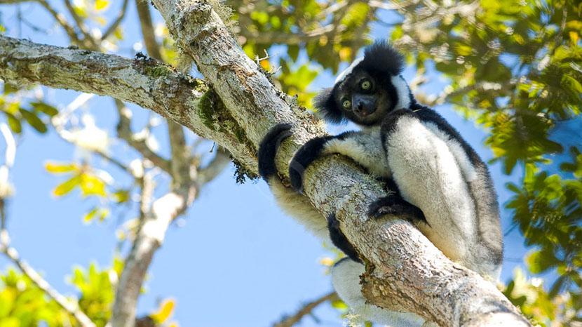 Parc national d'Andasibe, Indri Indri, Madagascar © M. & E. Jouaux
