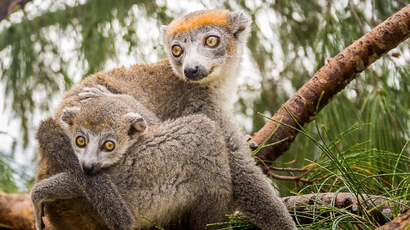 Excursion au parc national de la Montagne d'Ambre , Lémur couronné, Madagascar