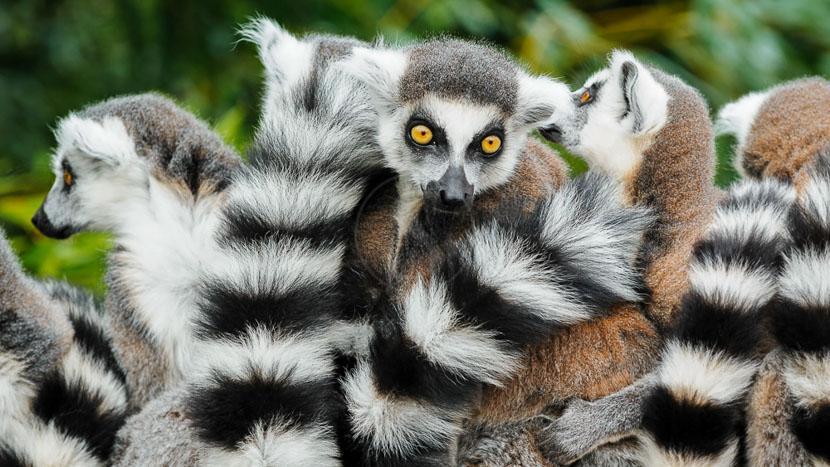 Visite d'Antsirabe, Lémur Catta, Madagascar