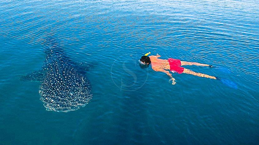 Nager avec les requins baleines à Nosy Be,