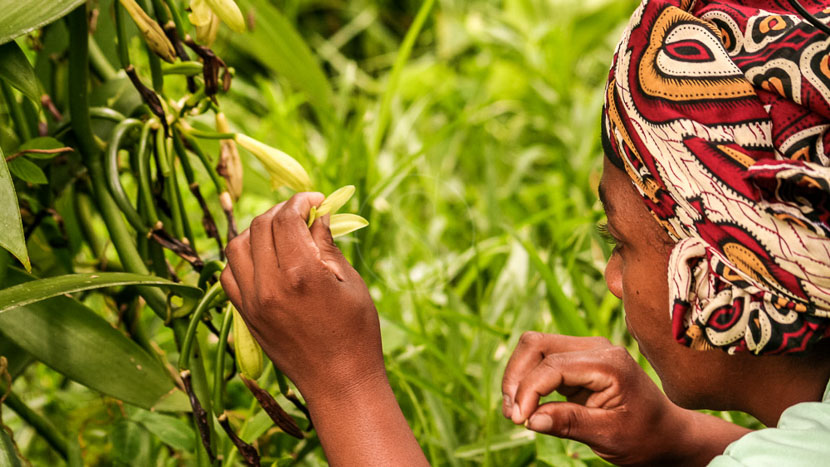 La vanille Bourbon de Madagascar, Vanille Bourbon, Madagascar © Shutterstock