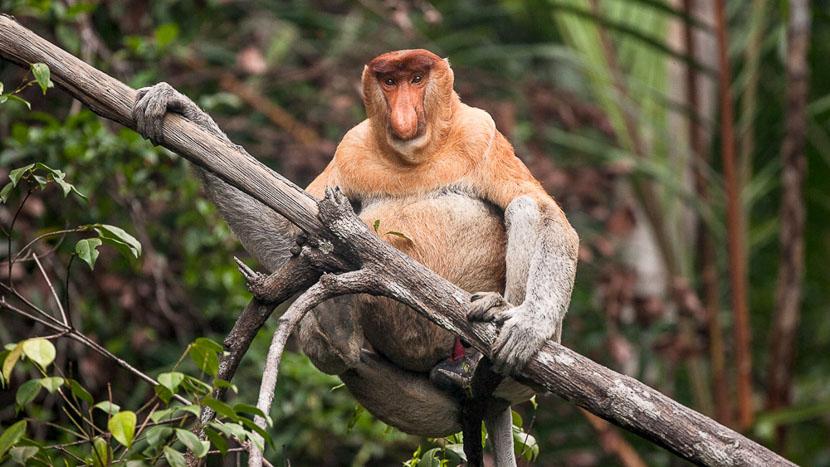 Parc national de Bako, Singe Nasique, endémique de Bornéo, Malaisie.