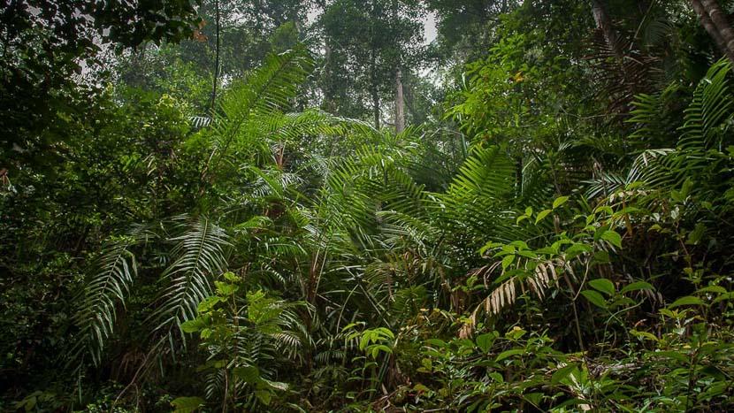 Parc national de Bako, Forêt pluviale de Bornéo. Sarawak. Malaisie.