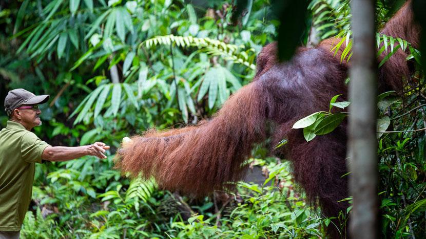 Réserve naturelle de Semenggoh, Réserve de Semenggoh, Malaisie