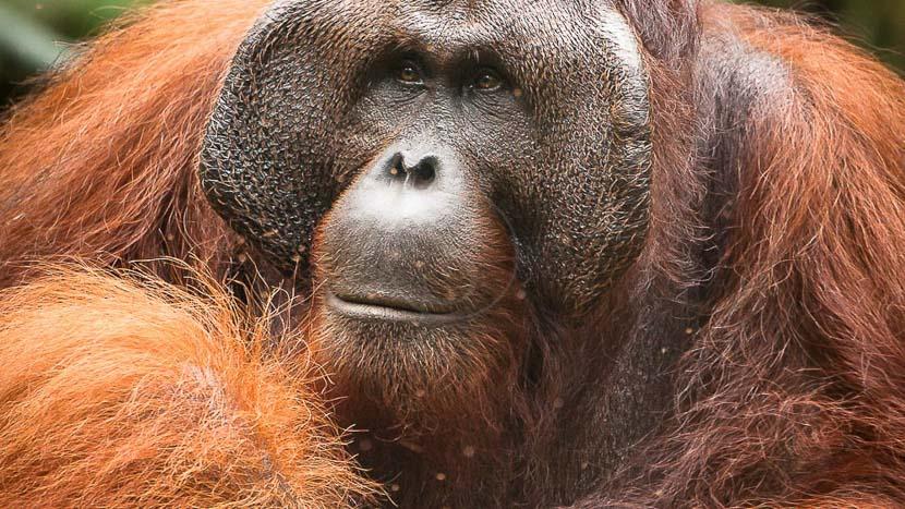 Réserve naturelle de Semenggoh, Orang Outan femelle et son jeune