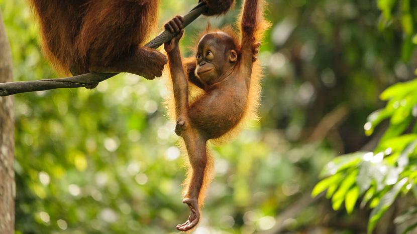 Réserve naturelle de Semenggoh, Orangs-outans, Malaisie