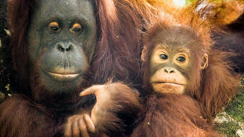 Le centre de réhabilitation de Sepilok, Orang Outan femelle et son jeune