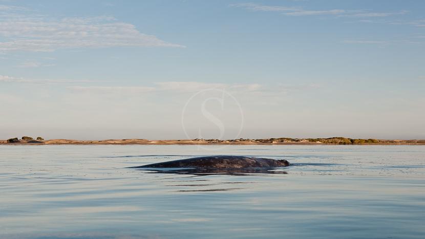 Baleines grises à Puerto Mateos, Basse Californie, Mexique © Laurent Guillot