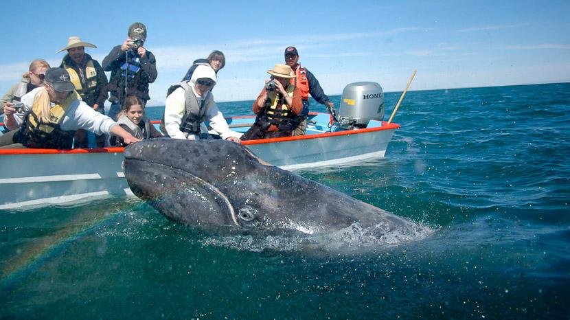 Whale Watching en Basse-Californie , Basse Californie, Mexique © JC Arbonne