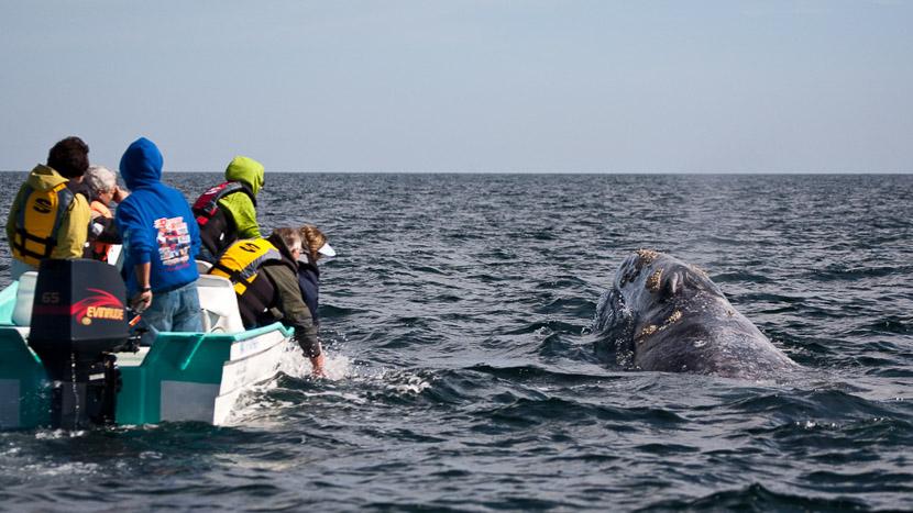 Whale Watching en Basse-Californie , Basse Californie, Mexique © Laurent Guillot