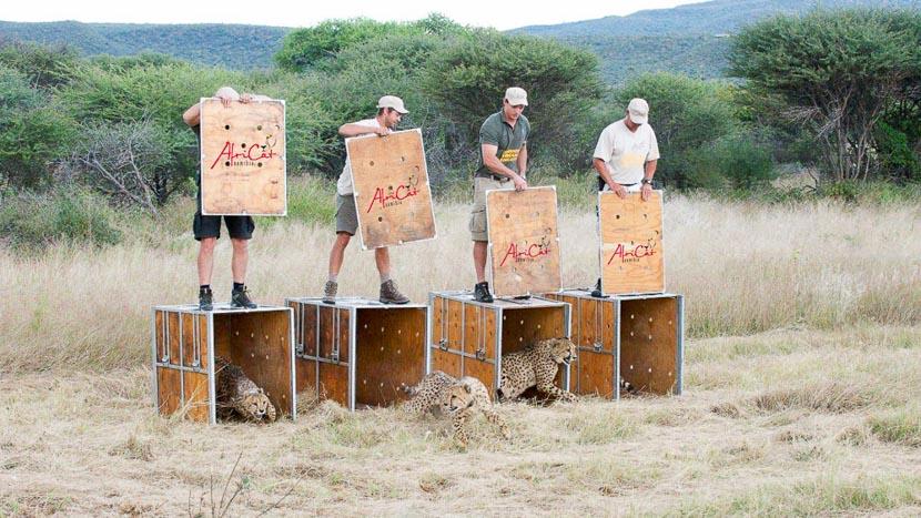 Visite de l'AfriCat Foundation, Okonjima Plains Camp, Namibie © Paul Martens