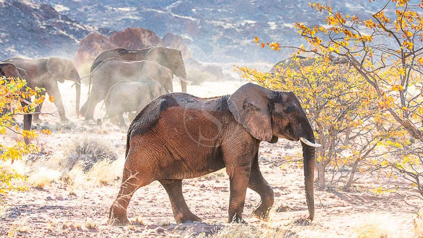 Éléphants du désert dans le Damaraland, Eléphants du désert, Namibie © Christophe Courteau