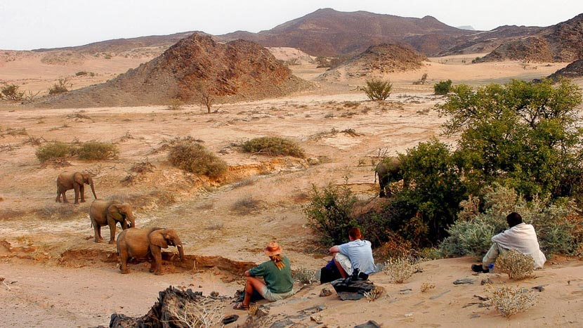Éléphants du désert dans le Damaraland, Damaraland Camp, Namibie