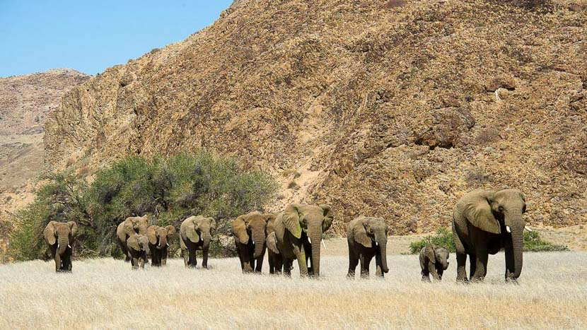 Éléphants du désert dans le Damaraland, Doro Nawas, Namibie © Dana Allen - Wilderness