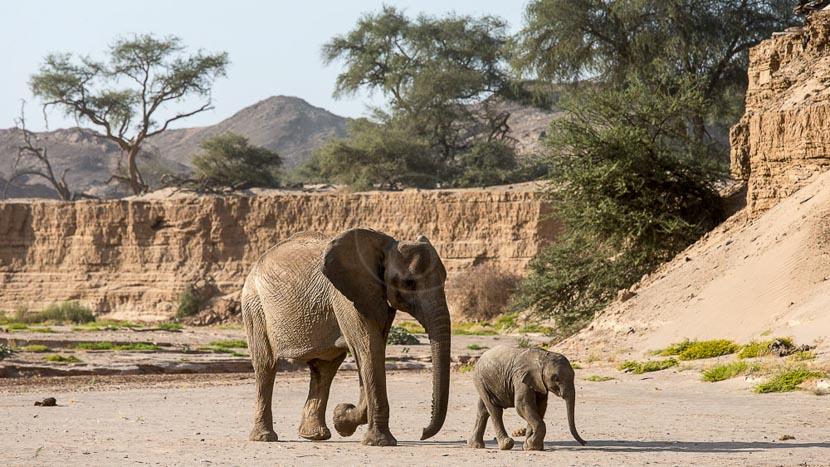Éléphants du désert dans le Damaraland, Hoanib Camp, Namibie © Caroline Culbert - Wilderness