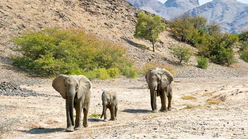 Éléphants du désert dans le Damaraland, Hoanib Camp, Namibie © Dana Allen - Wilderness