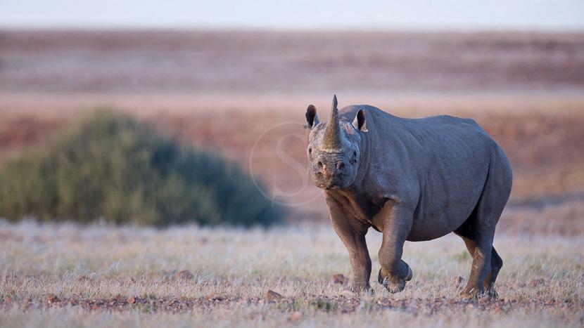 Rhinocéros noirs du Damaraland,