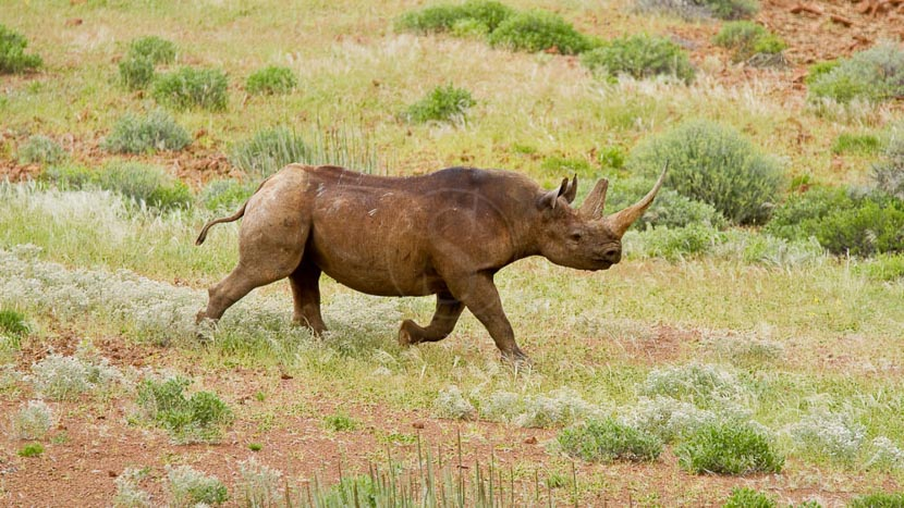 Rhinocéros noirs du Damaraland, Protection du Rhinocéros noir au Desert Rhino Camp, Namibie
