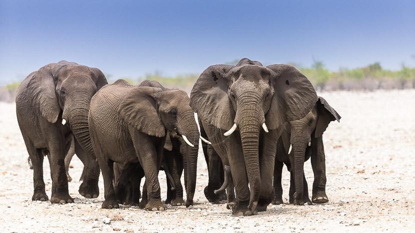 Parc national d'Etosha, Eléphant d'Afrique à Etosha © Christophe Courteau