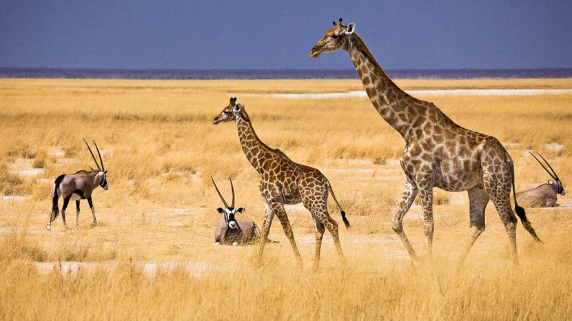 Parc national d'Etosha, Mokuti Etosha Lodge, Namibie © Reinhard Westphal