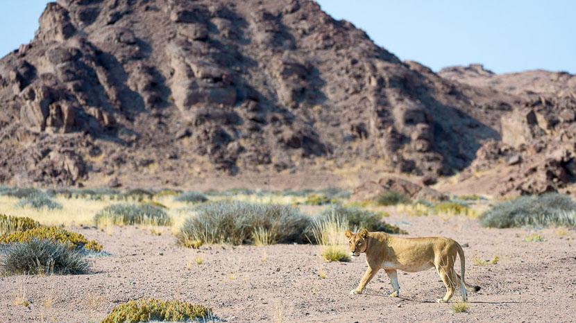 Lions du désert à Hoanib, Hoanib Camp, Namibie © Dana Allen - Wilderness