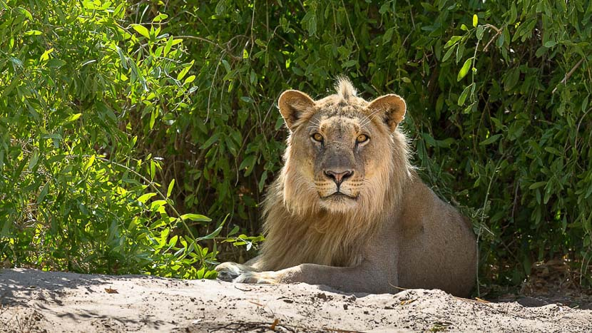 Lions du désert à Hoanib, Lion du désert en Namibie © Christophe Courteau