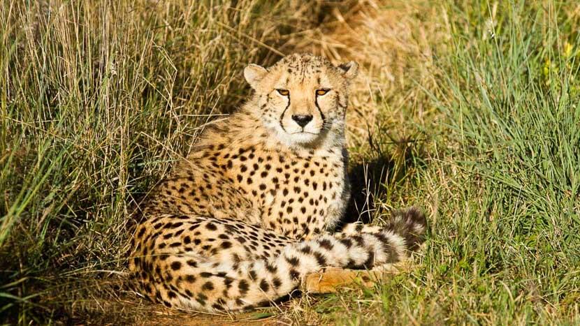 Guépard d'Okonjima, Protection des guépard à Okonjima, Namibie