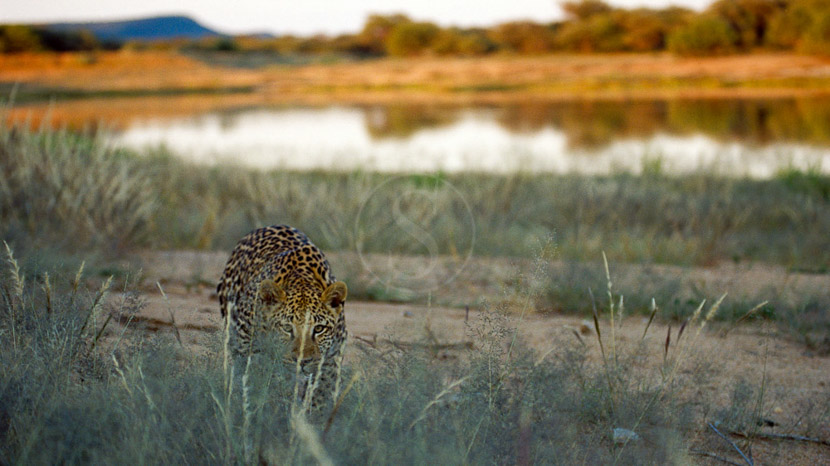 Léopards d'Okonjima, Okonjima Private Villa, Namibie © Paul Martens