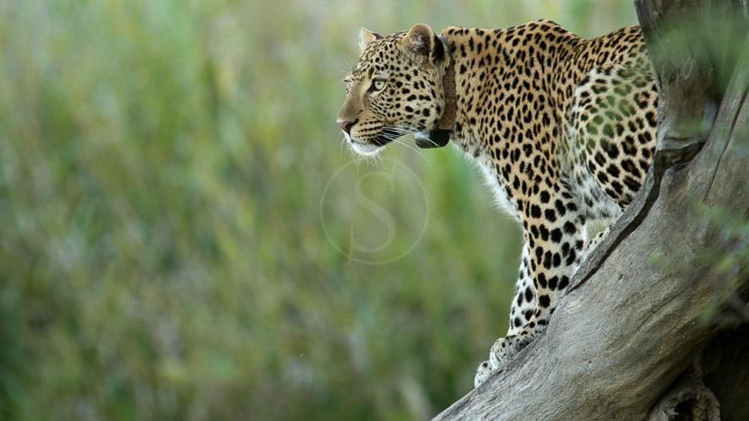 Léopards d'Okonjima, African Cat  Project à Okonjima, Namibie