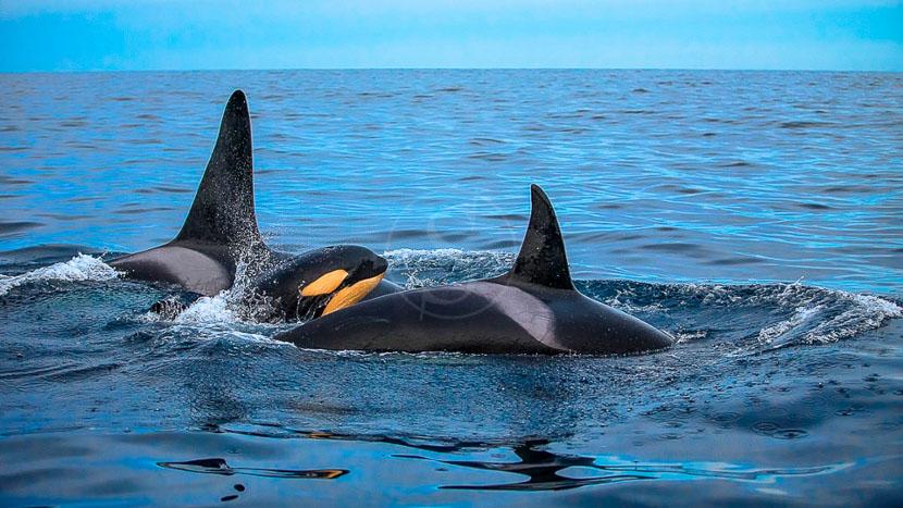 Les orques de Tromso, Observation des orques, Norvège