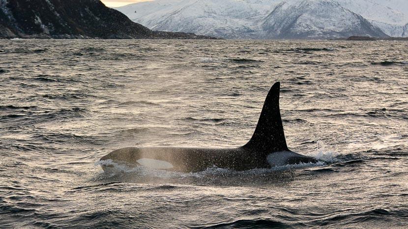 Les orques de Tromso, Observation des orques, Norvège © Radek Okienczuk