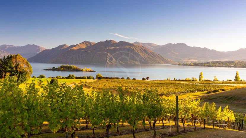 Dunedin et péninsule d'Otago, Vignes en Nouvelle Zélande © Shutterstock