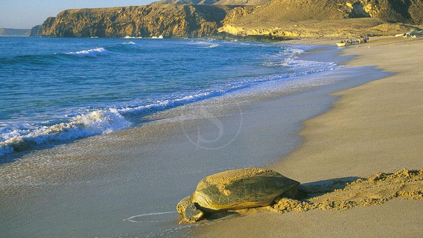 Observer les tortues de Ras-al-Jinz, Tortue à Ras Al Jinz, Oman