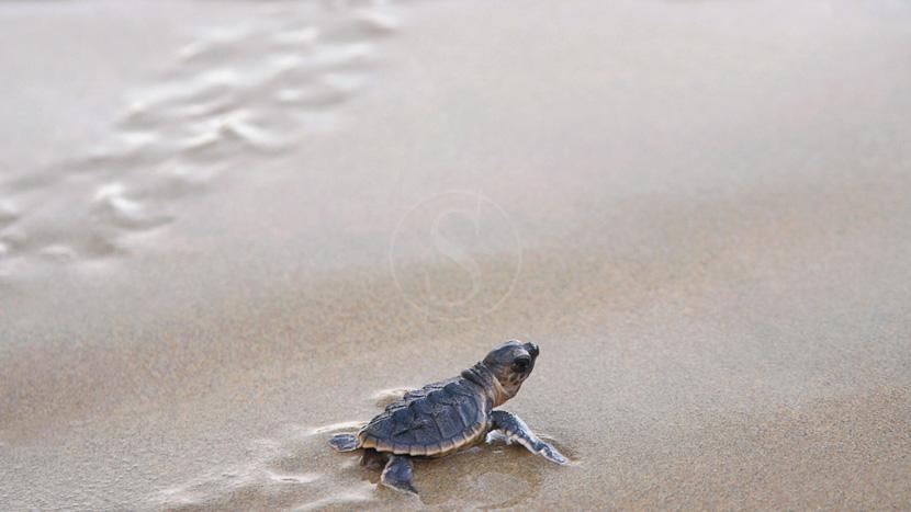 Observer les tortues de Ras-al-Jinz, Shangri Las Barr Al Jissah, Oman