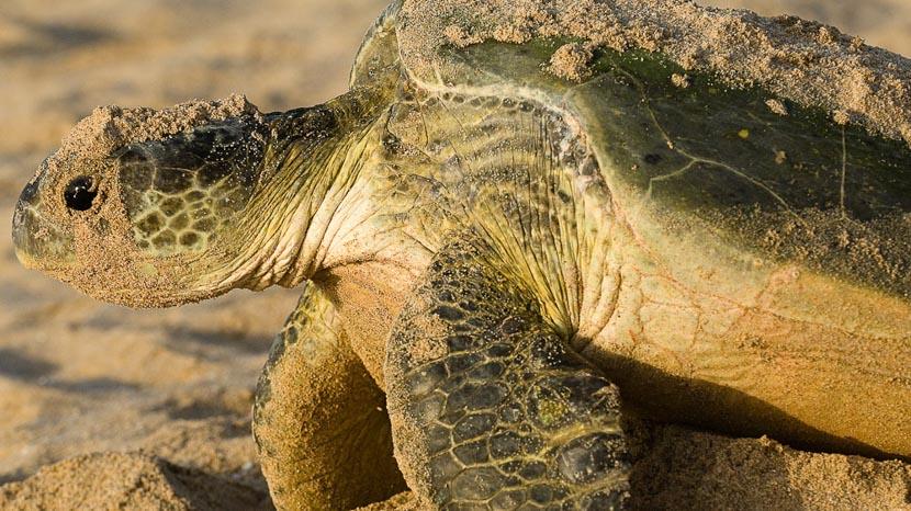 Observer les tortues de Ras-al-Jinz, Ras al Jinz, Oman