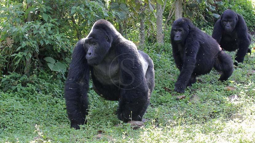 Observation du gorille de montagne, Gorilles des montagnes à Bwindi, Ouganda © Corinne Le G.