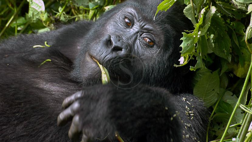 Trek gorilles dans la forêt impénétrable de Bwindi, Gorilla Forest Camp, Ouganda © Sanctuary Camps