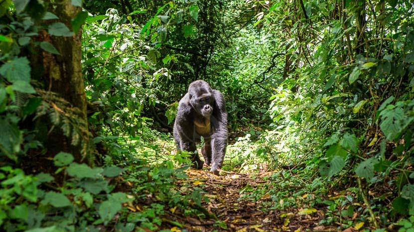 Trek gorilles dans la forêt impénétrable de Bwindi, Forêt de Bwindi, Ouganda
