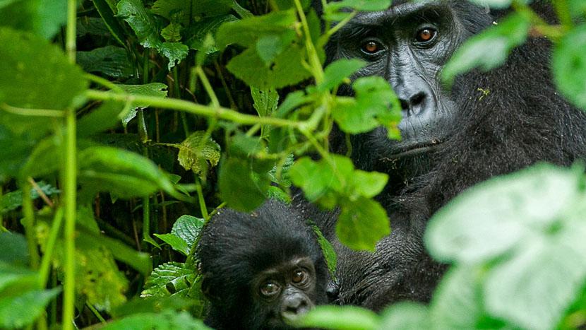 Journée d'habituation avec les Gorilles, Gorilla Forest Camp, Ouganda © Sanctuary Camps