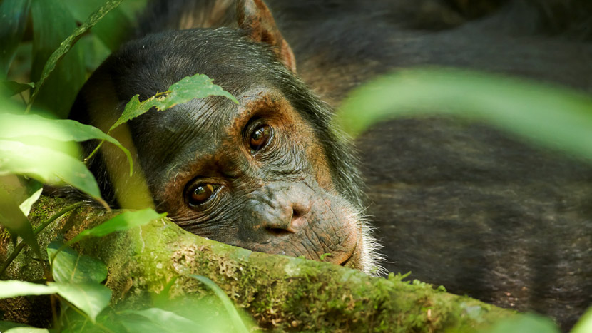 La forêt de Kibale et ses chimpanzés, Chimpanzé dans la forêt de Kibale, Ouganda