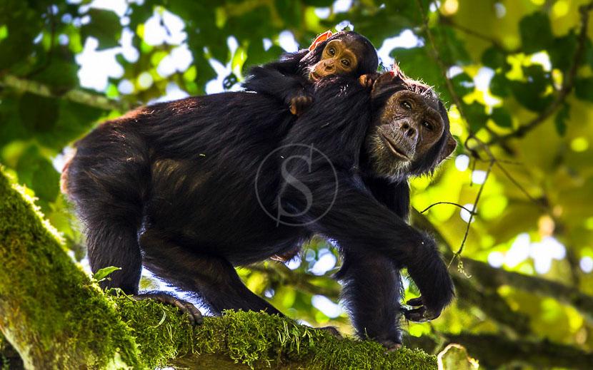 Trek chimpanzés dans la forêt de Kibale, Chimpanzés à Kibale, Ouganda © Christophe Courteau