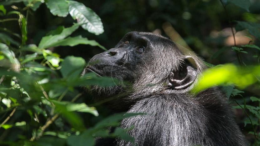 Trek chimpanzés dans la forêt de Kibale, Chimpanzé à Kibale, Ouganda © Corinne Le G.