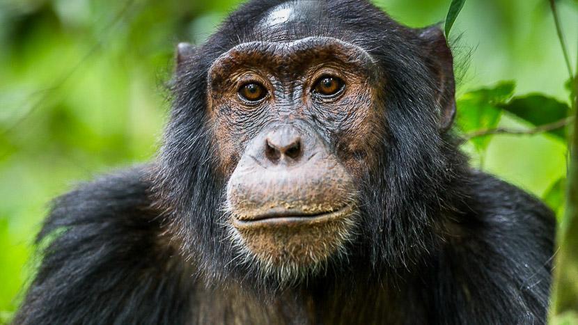 Journée d'habituation aux chimpanzés, Chimpanzés à Kibale, Ouganda © Christophe Courteau