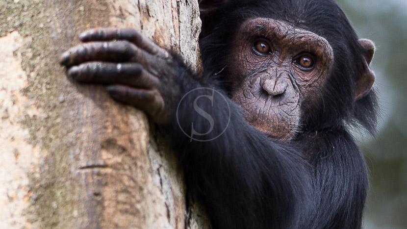 Journée d'habituation aux chimpanzés, Chimpanzés à Kibale, Ouganda