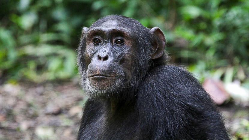 Journée d'habituation aux chimpanzés, Chimpanzé à Kibale, Ouganda © Corinne Le G.