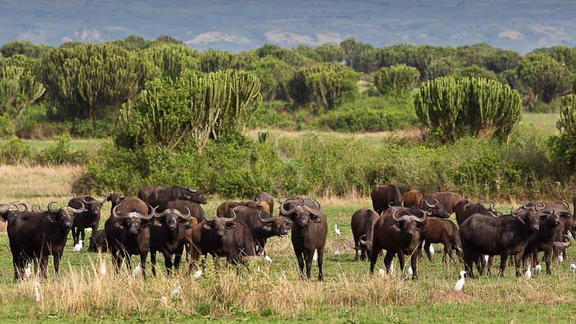 Parc national Queen Elizabeth, Troupeau de buffles dans le Parc Quenne Elizabeth. Ouganda © Christophe Courteau