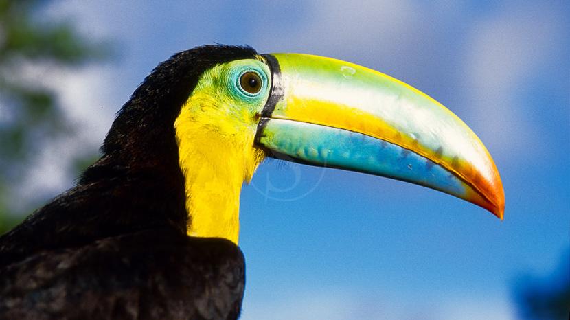 Birdwatching au Panama,